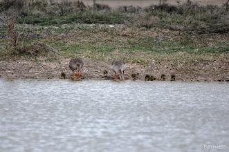 Photo: A beber. Entrañable imagen de esta familia de gansos comunes que beben en Villafáfila.