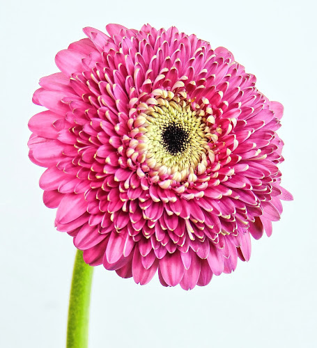 Pink Gerbera Daisy #5 by Jim Downey - Flowers Single Flower ( magenta, white, gerbera daisy, yellow, pwtals )
