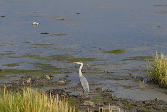 Photo: Grey Heron