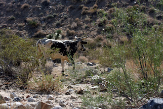 Photo: Cattle grazing in Rattlesnake Canyon