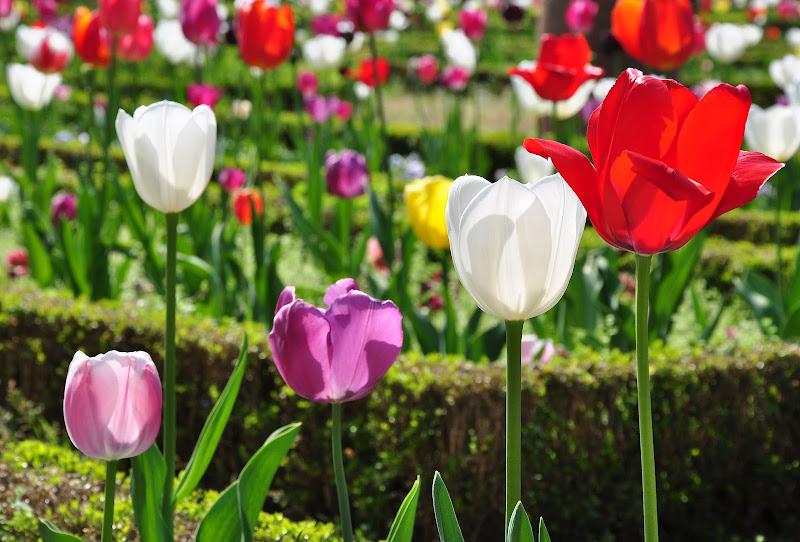 Rivedremo ancora i tulipani? di mcris