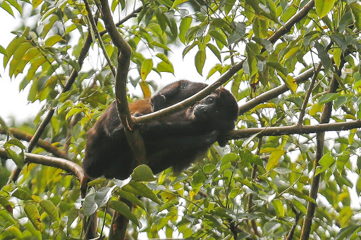 Howler-monkey.jpg -  A howler monkey at Monkey Island in Panama.