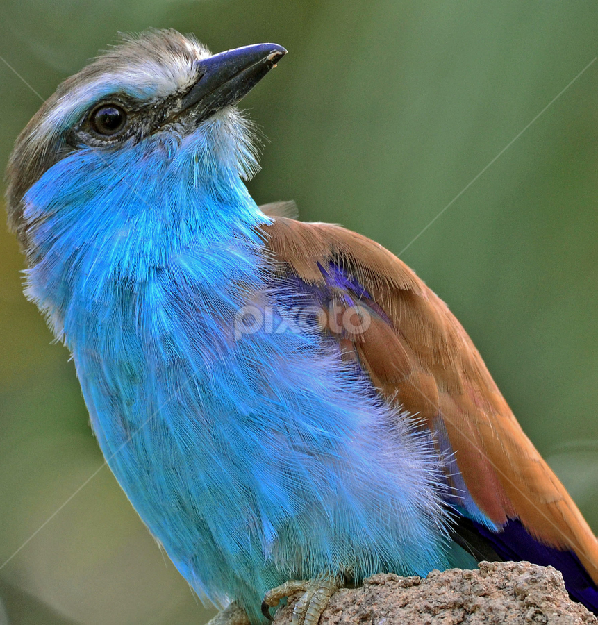 An European Roller by Shyamala Rao - Animals Birds ( conservation, africa, habitat preservation )