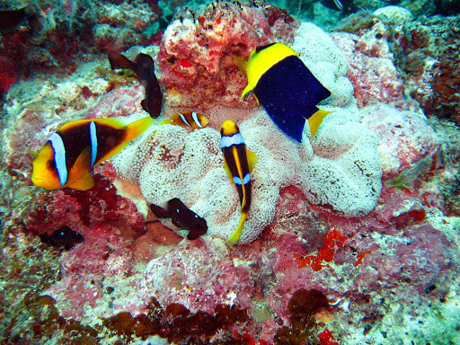 Scuba or snorkel to see brilliantly colored fish in the tropical blue waters of Tonga in the South Pacific.