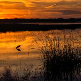 Heron at sunset by Joe Saladino - Landscapes Sunsets & Sunrises ( water, bird, sunset, lake, heron,  )