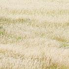blady grass (白茅草)