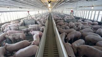 Granja porcina de cerdo blanco que se engorda en el Levante almeriense.