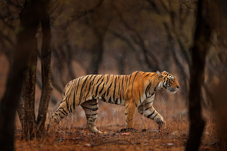 A female tiger in India's Ranthambore National Park. (File photo.)