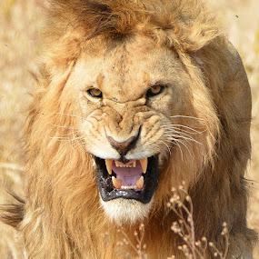 by Davorin Munda - Animals Lions, Tigers & Big Cats
