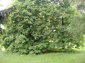 Photo: Bellissima famiglia di Ippocastani Bianchi (white chestnut), nel comune di Folgaria