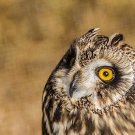 Long eared owl by Garry Chisholm - Animals Birds ( raptor, bird of prey, nature, long eared owl, garry chisholm )