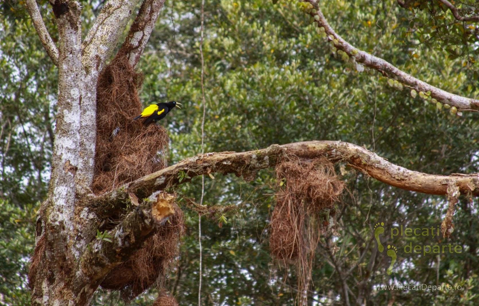 Pasare tesator in jungla amazoniana, in Rezervatia Nationala Pacaya-Samiria, Peru