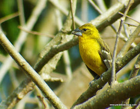 Photo: Yellow Grosbeak female; Rancho Primavera, near Tuito, Jalisco