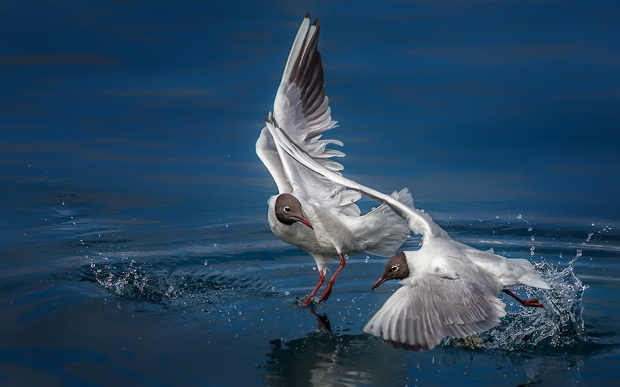 by Vasja Pinzovski - Animals Birds