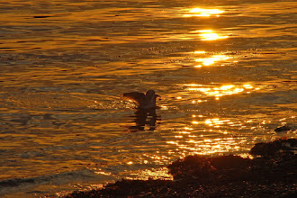 Photo: Seagull at sunset – beach at Ye Old Forte Cabins