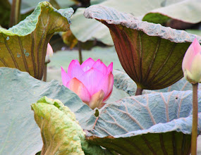 Photo: Day 317 - A Lotus Pond #3