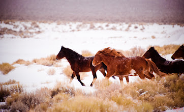Photo: Wild  I'm heading to Oregon to stop at the parents for Christmas prior to driving south to San Diego again.  This picture was several years ago as I drove to see my parents for another christmas. It's on a lonely country highway in Nevada from Winnemuca to Klamath Falls Oregon with the Wild Horses running past. I usually see the wild donkeys but this is one of the only time to see the horses.  I only had moments before they were too far away for me to take the shots. I can't remember if this was my best shot... but I had to rush to get this up and then get out on the road as it's a long drive ahead of me.