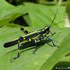 Lubber grasshopper!
