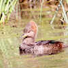 Female Hooded Merganser Duck