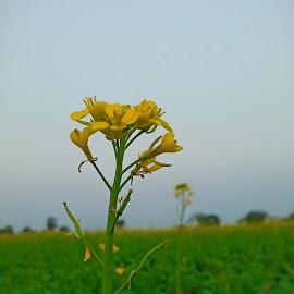 mustard by Tr Yogesh Shehar - Flowers Flower Buds ( mustard, nature, freshness, nice, flower )