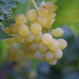 Grapes  by Palash Panda - Nature Up Close Gardens & Produce