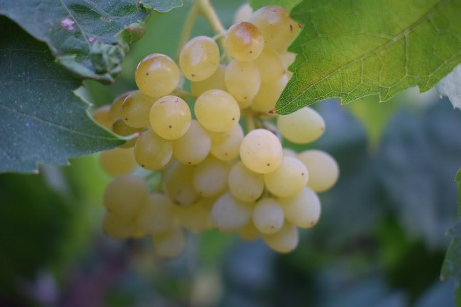 Grapes  by Palash Panda - Nature Up Close Gardens & Produce