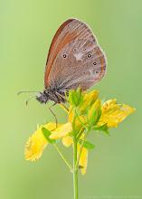 Photo: Coenonympha glycerion, Fadet de la mélique, Chestnut Heath  http://lepidoptera-butterflies.blogspot.com/  https://www.facebook.com/pages/Macro-Photography-Do-Dema/540798875993427