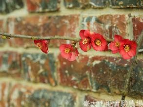 Photo: 拍攝地點: 梅峰-實驗室旁  拍攝植物: 貼梗海棠  拍攝日期:2012_03_02_FY