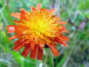 Photo: Orangerotes Habichtskraut