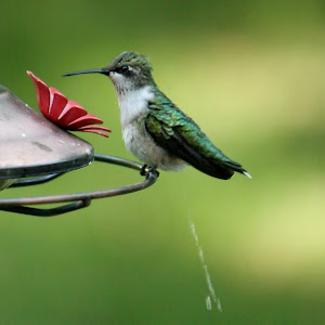 2012-08-22 Hummingbird (34).JPG