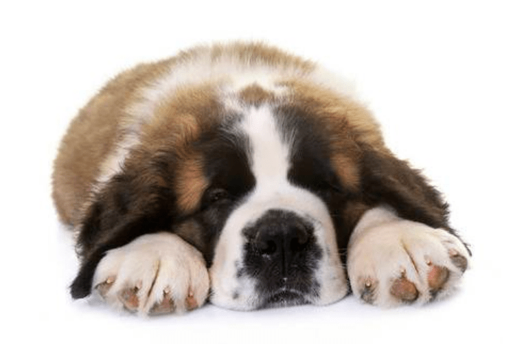 Dogs as Pets: The Saint Bernard - Blue Water Healthy Living