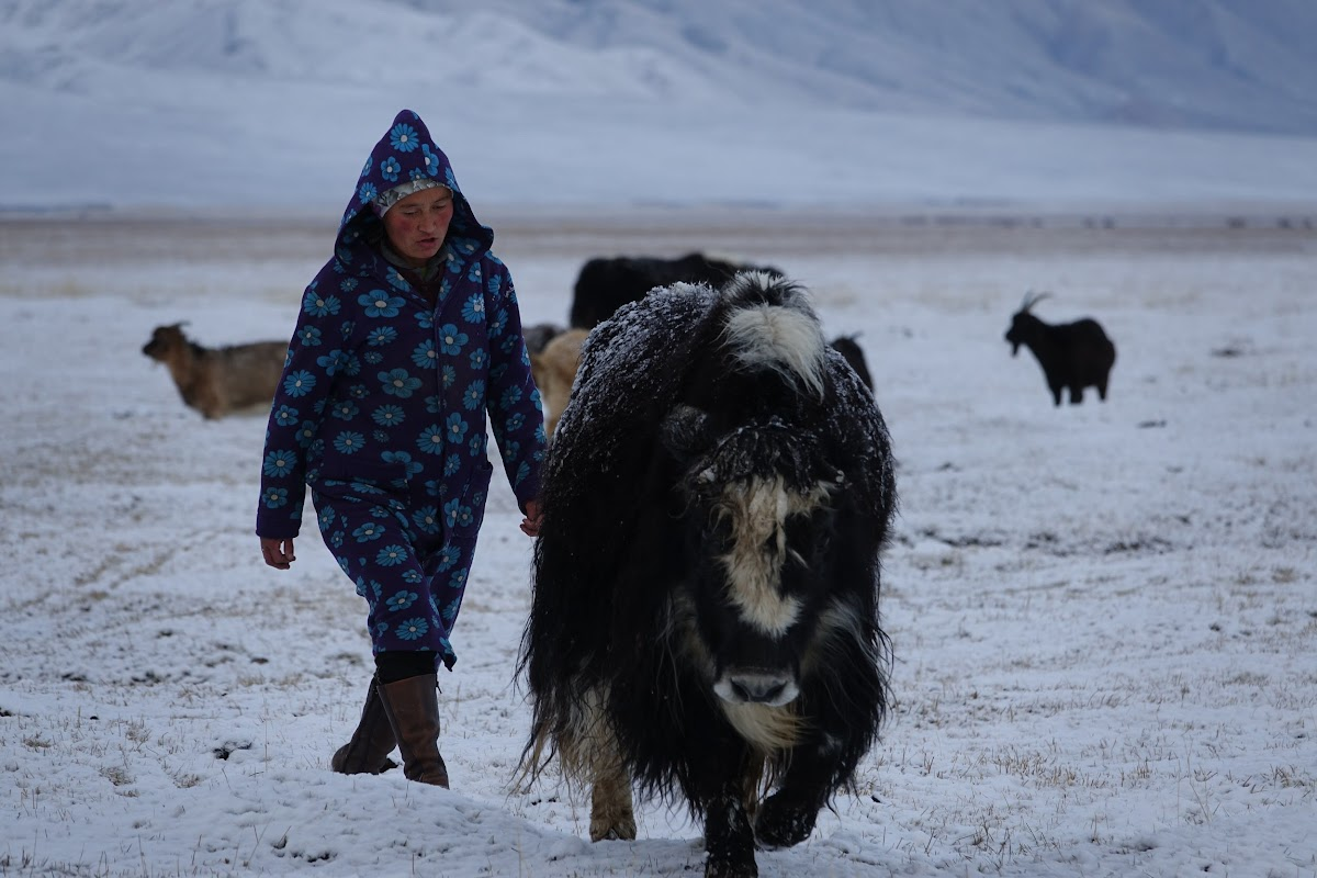 Dinar moving the yak to the milking area