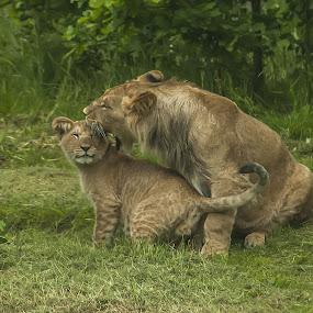 Shut up, kid! by Lindberg-Photo.dk, Mathias Lindberg - Animals Lions, Tigers & Big Cats ( lindberg, givskud zoo, zoo, lindberg-photo, lindberg-photo.dk, mathias lindberg, denmark, lions,  )