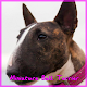 Download Miniature Bull Terrier For PC Windows and Mac