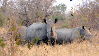 Photo: Kruger NP - rhinos