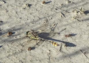 Photo: Club-tail dragonfly