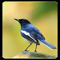 Kacer (Magpie Robin) Birdsong icon