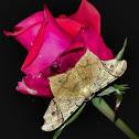 Semiothisa Moth / Mariposa-Semiothisa