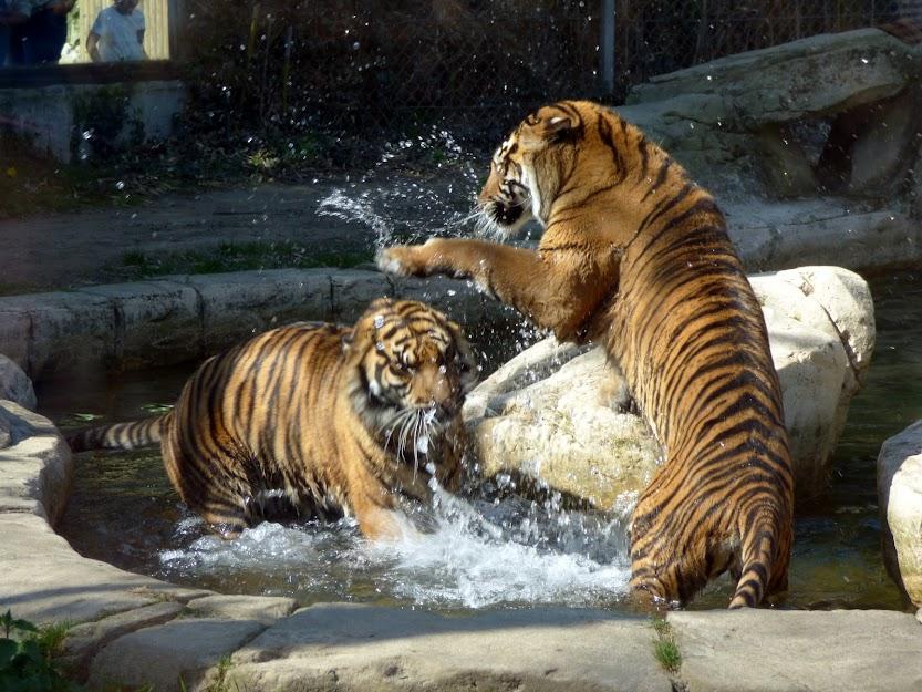 Suma et sa fille Jahly, tigresses de Sumatra