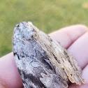 Sad underwing moth