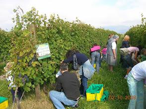Photo: La vendemmia: tutti a raccogliere l'uva