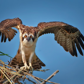 Young Osprey by Don Holland - Animals Birds