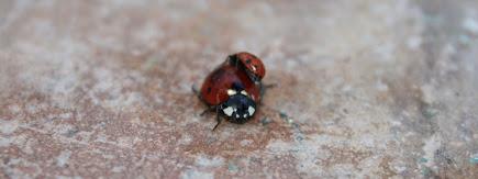 Marieta (Coccinellidae) -