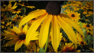 Photo: Bulgări de soare (Rudbeckia) - de pe Str. Panselutelor - 2017.07.13  (Rujă galbenă (Rudbeckia fulgida)