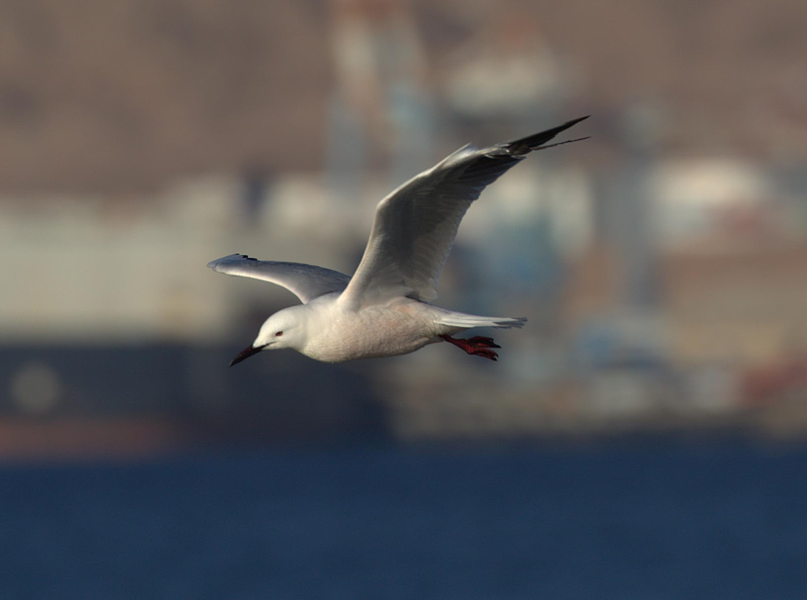 slender-billed gull 2_rsz.jpg