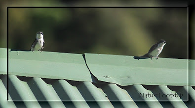 Photo: Blue-and-white Swallow - Notiochelidon cyanoleuca http://nfcrbird.blogspot.com/2011/02/blue-and-white-swallow-notiochelidon.html