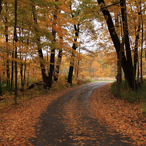 Out of the Woods by Lyle Hatch - Landscapes Forests ( curve, maples, seasonal, fall colors, autumnal, forest, road, leaves, leaf lined road, nature, autumn, foliage, outdoors, fall, trees, arboretum,  )
