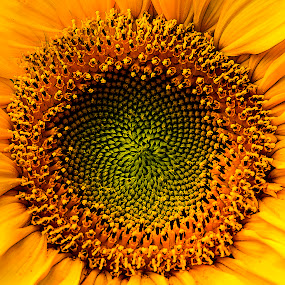 Close-up sunflower by Paul Drajem - Flowers Single Flower ( abstract, macro, big flower, pattern, nature, texture, being, outdoors, sunflower, yellow, flowers, close up, garden,  )