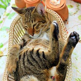 Cat Nap Dreams by James Morris - Animals - Cats Portraits ( cats, nature, cat, dreams, nap, sleeping )