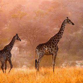 by Gorazd Golob - Animals Other Mammals